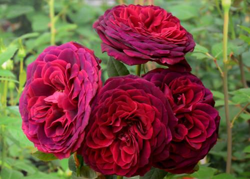 Роза графиня астрид фон харденберг