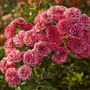 Розы миниатюрные патио