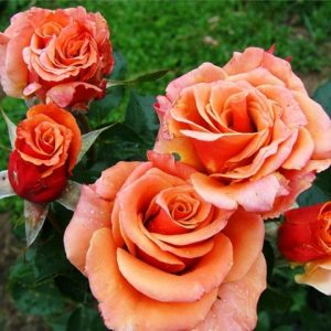 роза,флорибунда Elitgarden, питомник