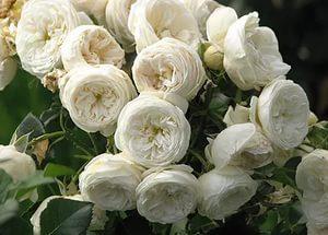 питомник Elitgarden. роза шраб,Artemis