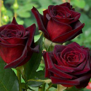 Розы. Весна 2021 г.