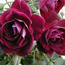 Burgundy Ice, питомник роза, саженцы флорибунда