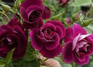 роза, саженцы, флорибунда, питомник, Elitgarden