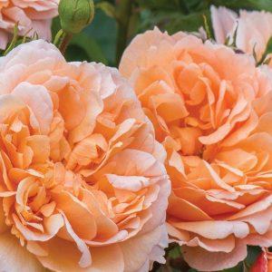 elitgarden, питомник, саженцы, роза, шраб, флорибунда, английская, чайно-гибридная, парковая, спрэй, почво-покровная, плетистая, цветы, патио