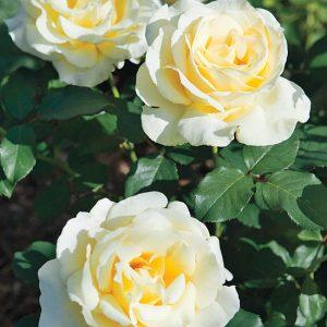 роза, питомник, elitgarden, саженцы, чайно- гибридные, шраб, старинные, романтические,