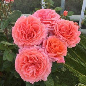 саженцы0 роза, питомник, elitgarden