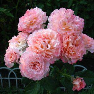 роза, саенцы, питомник,