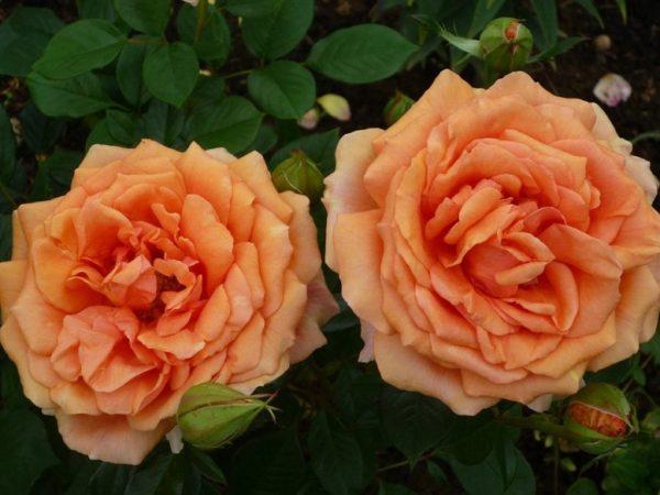 питомник, чайно-гибридные, саженцы, роза ,