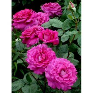 роза, питомник, elitgarden, саженцы, чайно- гибридные