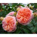 роза, питомник, elitgarden, саженцы, чайно- гибридные, шраб