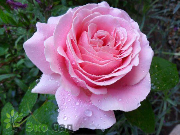 elitgarden, питомник, саженцы, роза, шраб, флорибунда, английская, чайно-гибридная, парковая, спрэй, почво-покровная, плетистая, цветы