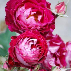 роза, питомник, elitgarden