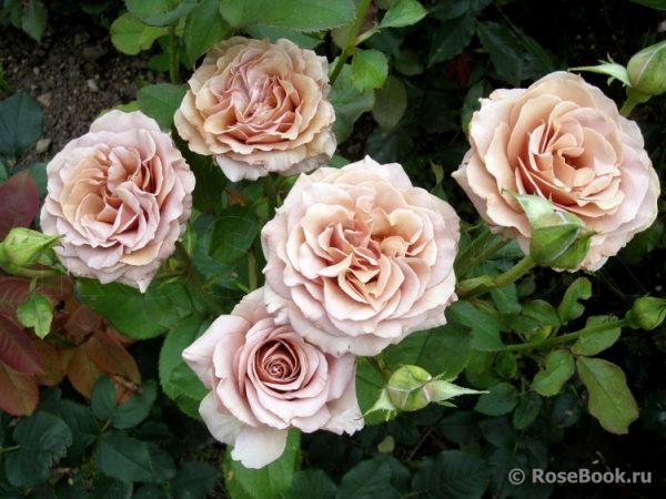 роза, саженец. elitgarden. gbnjvybr