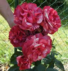 elitgarden, роза, плетистая, саженцы