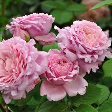 elitgarden, питомник, саженцы, роза, шраб, флорибунда,