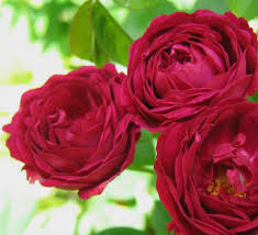 Gipsy Boy, elitgarden, питомник, саженцы, роза, шраб, флорибунда