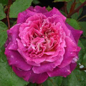 Kathryn, роза, .elitgarden, питомник флорибунда