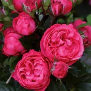 King George, elitgarden, питомник, саженцы, роза
