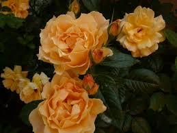 LElegante-Du-Pyla, elitgarden, питомник, саженцы, роза