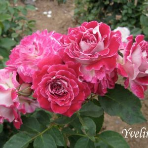 Les-Yvellines,elitgarden, питомник, саженцы, роза