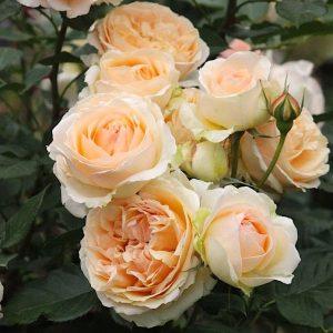 elitgarden, питомник, саженцы, роза, шраб, флорибунда
