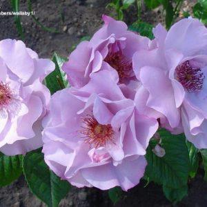 elitgarden, питомник, саженцы, роза, Odyssey