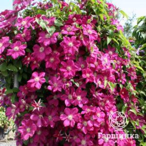 elitgarden, питомник, Клематис, саженцы, лиана, цветы