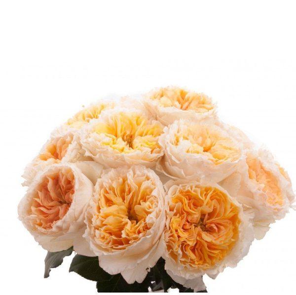 пионовидные розы Остина, Беатрис