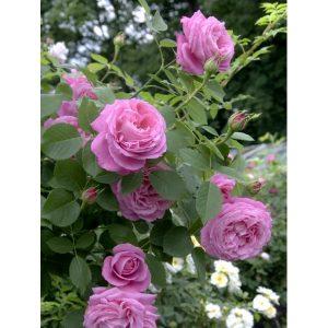 Розы старинные, романтические