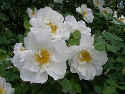 роза, парковая