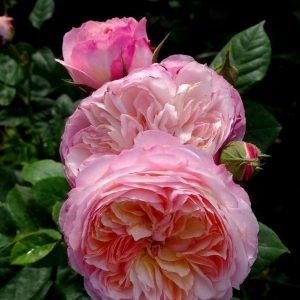 Роза Constance (AUStruss) Констанс
