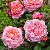 роза, генероза, питомник, Элитгарден