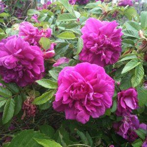 Роза Rugosa (ругоза)