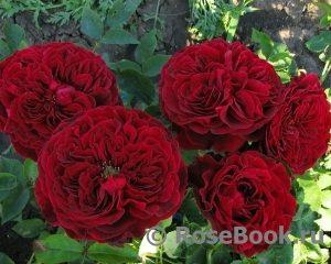 elitgarden, питомник, саженцы, роза,