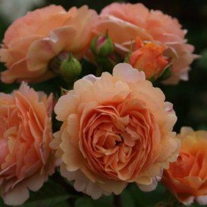 питомник, elitgarden, роза, саженцы, английская, Остин