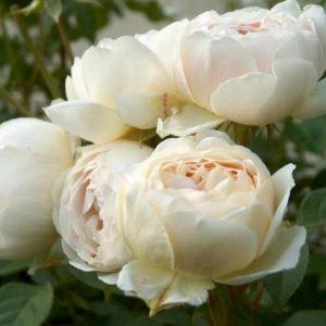 розы, питомник, саженцы