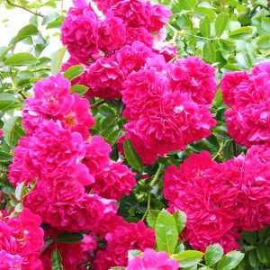 elitgarden, питомник, саженцы, роза