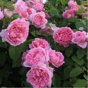 розы, сорта, саженцы ., Мэри роуз