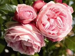 роза, питомник, саженцы