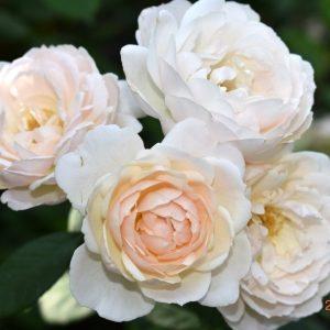 Роза Desdemona купить в питомнике Elitgarden.