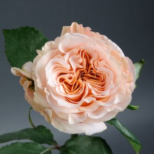 Роза Shimmer (Шиммер) - Elitgarden