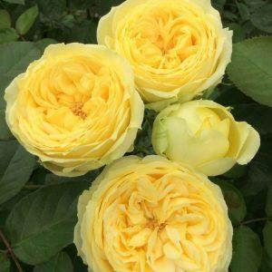 Купить саженцы роз в питомнике Elitgarden. Предлагаем качественные саженцы роз с доставкой по Украине.