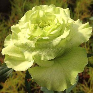 Роза супер Грин купить в Elitgarden