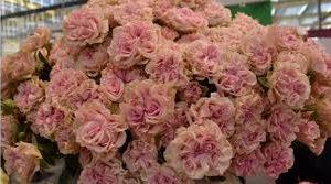 Роза Свит флоу (Sweet Flow)