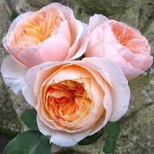Розы срезочные David Austin