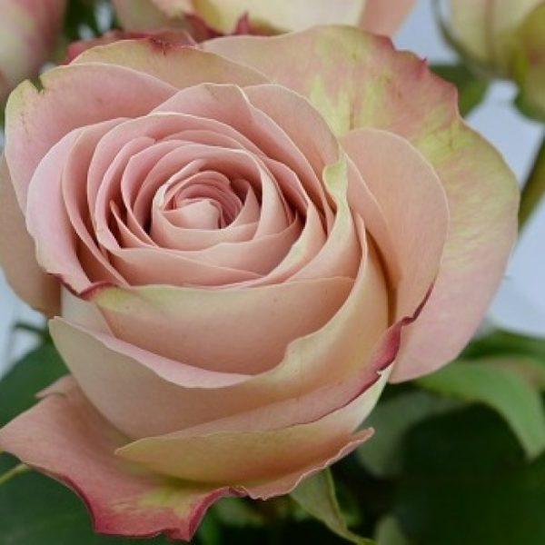 Роза Апер Секрет. (Upper Secret)